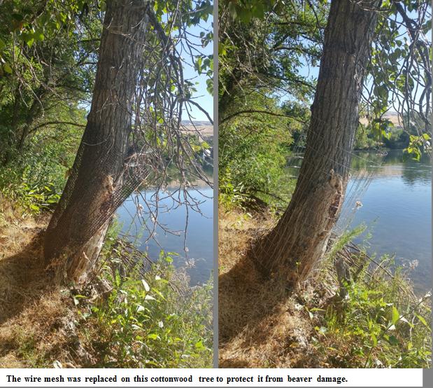 Cottonwood beaver damage repair